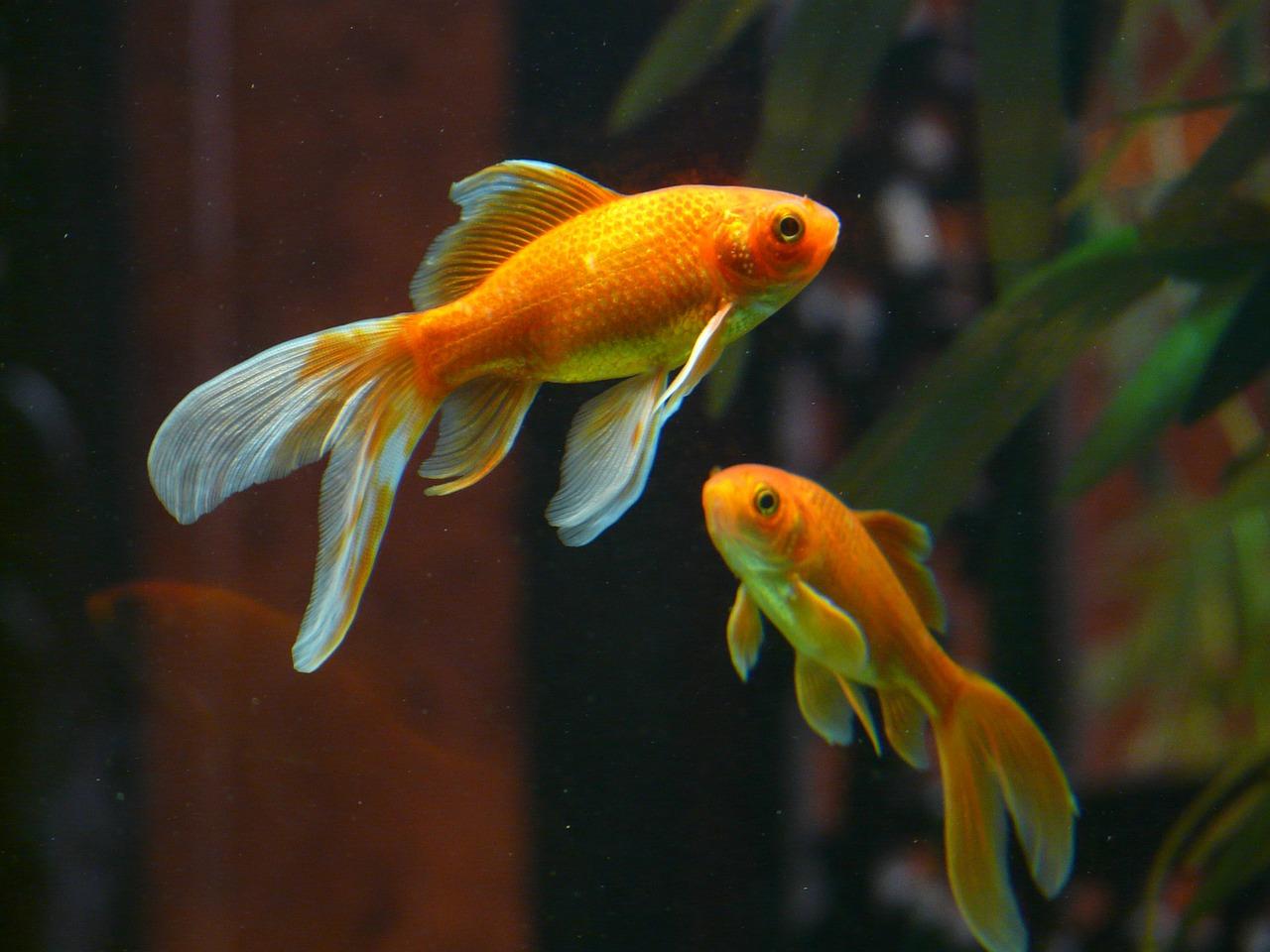 závojnatky v akváriu